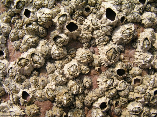 barnacles_7090604
